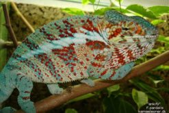 Ankify panther chameleon