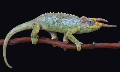 Trioceros jacksonii merumontanus