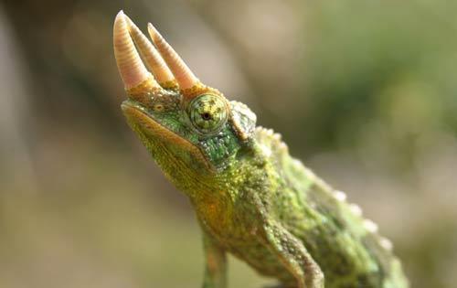 Trioceros jacksonii xantholophus