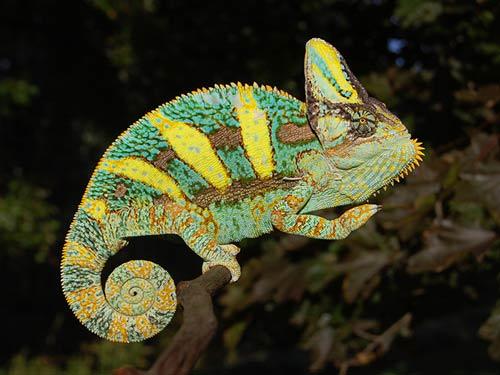 Hình ảnh tắc kè hoa Veiled Chameleon