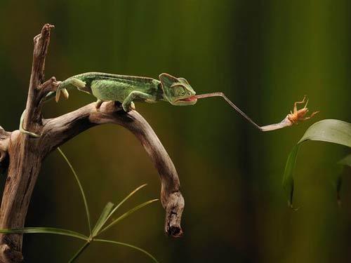 Tắc kè hoa Veiled Chameleon có khả năng phóng lưỡi dài 20cm để bắt côn trùng từ xa