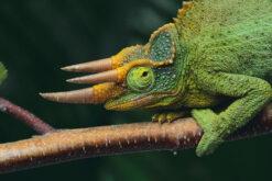 Tắc Kè Hoa Jackson Chameleon