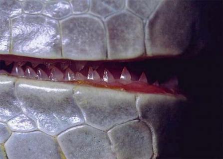 Bộ răng của rồng nam mỹ