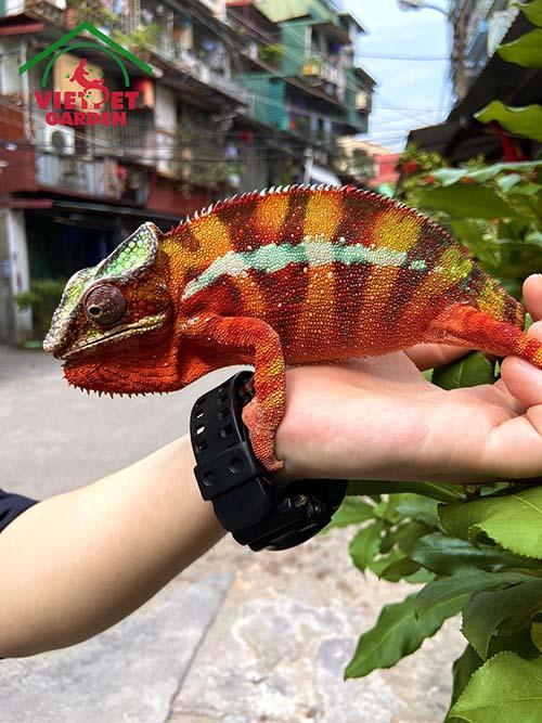 Hình ảnh Tắc Kè Hoa Panther Chameleon