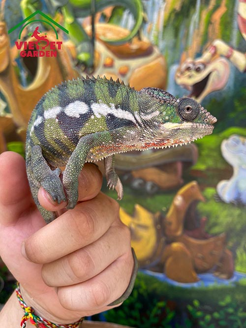 Tắc Kè Hoa Panther Chameleon