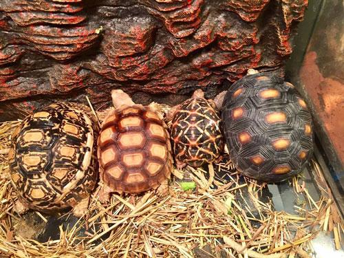 MỚI Giới thiệu địa chỉ Shop bán rùa cạn uy tín ở Hà Nội và TP. HCM 20
