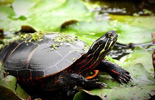 Ảnh Rùa Eastern Painted Turtle trưởng thành