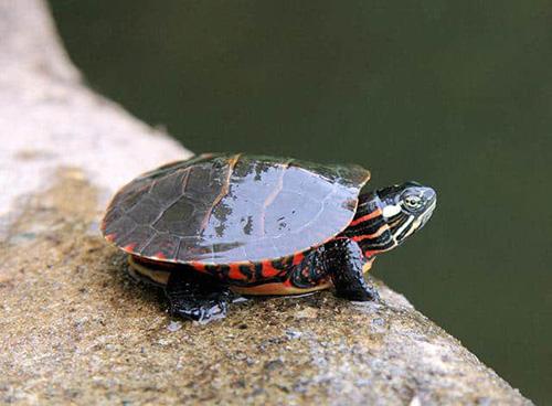 Rùa Eastern Painted Turtle