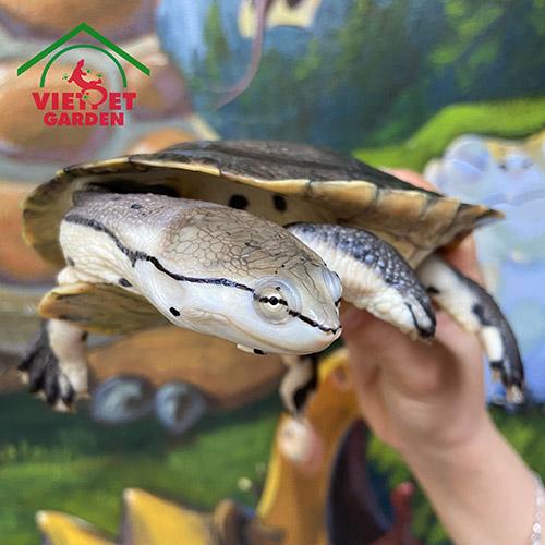 Rùa Cổ Gập Hilary