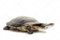 Rùa Cổ Gập