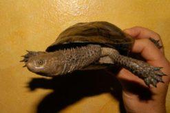 Rùa cổ rắn đen