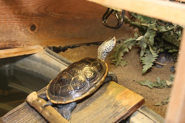 Môi trường nuôi rùa kim cương cần có khu vực phơi nắng