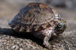 Rùa lưỡi dao - Razor turtle