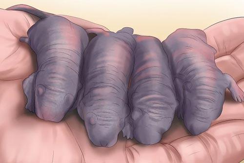 Thức ăn chủ yếu của Trăn Bóng Ball Python là các loài động vật gặm nhấm