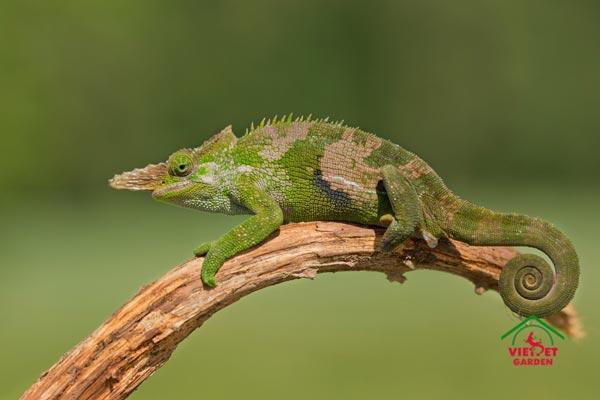 Fischer%E2%80%99s Chameleon
