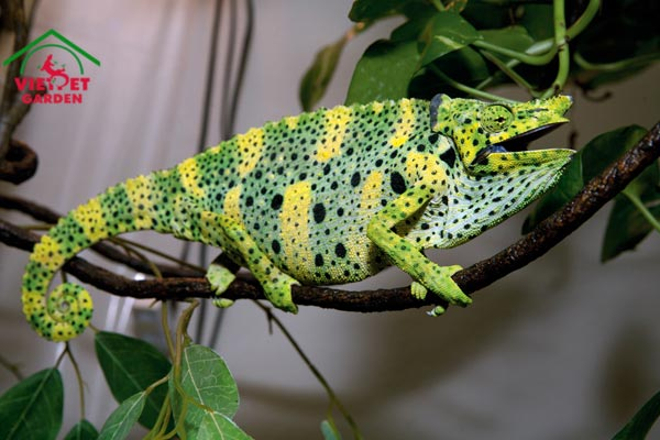Meller%E2%80%99s Chameleon