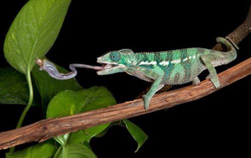Tắc kè ăn hầu hết các loại côn trùng, động vật gặm nhấm có kích thước bé miệng chúng