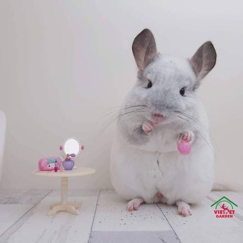 Việt Pet Garden cam kết bán chuột Chinchilla thuần chủng giá tốt nhất tại Hà Nội