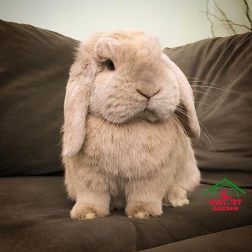 Thỏ Minilop Rabbit thuần chủng hàng nhập Thái Lan giá 1tr5 bé
