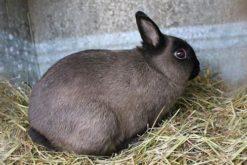 Thỏ Netherland Rabbit