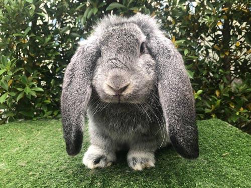 Thỏ Tai Cụp Pháp - French Lop Rabbit - Vietpetgarden